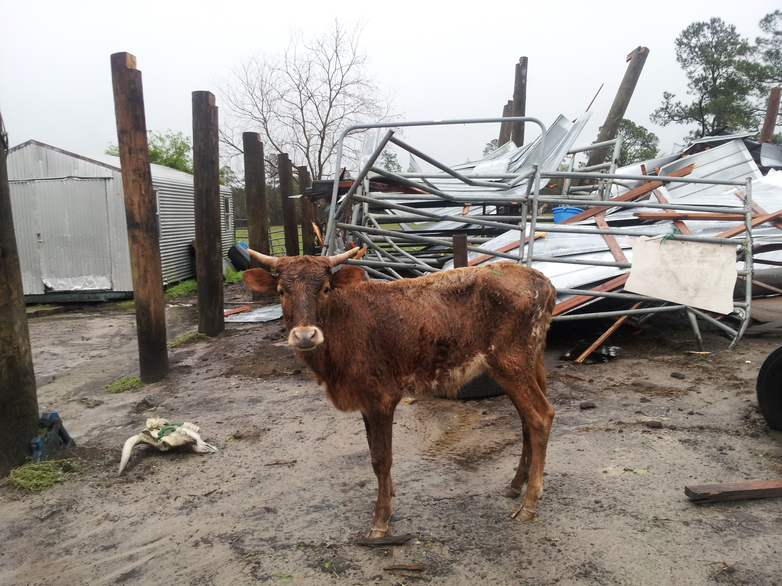 "A young cow, dubbed ""Lucky"" by residents, was near the barn at the time of the storm and was soaked, but uninjured."